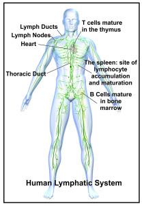 BRAS Lymph System Comp1