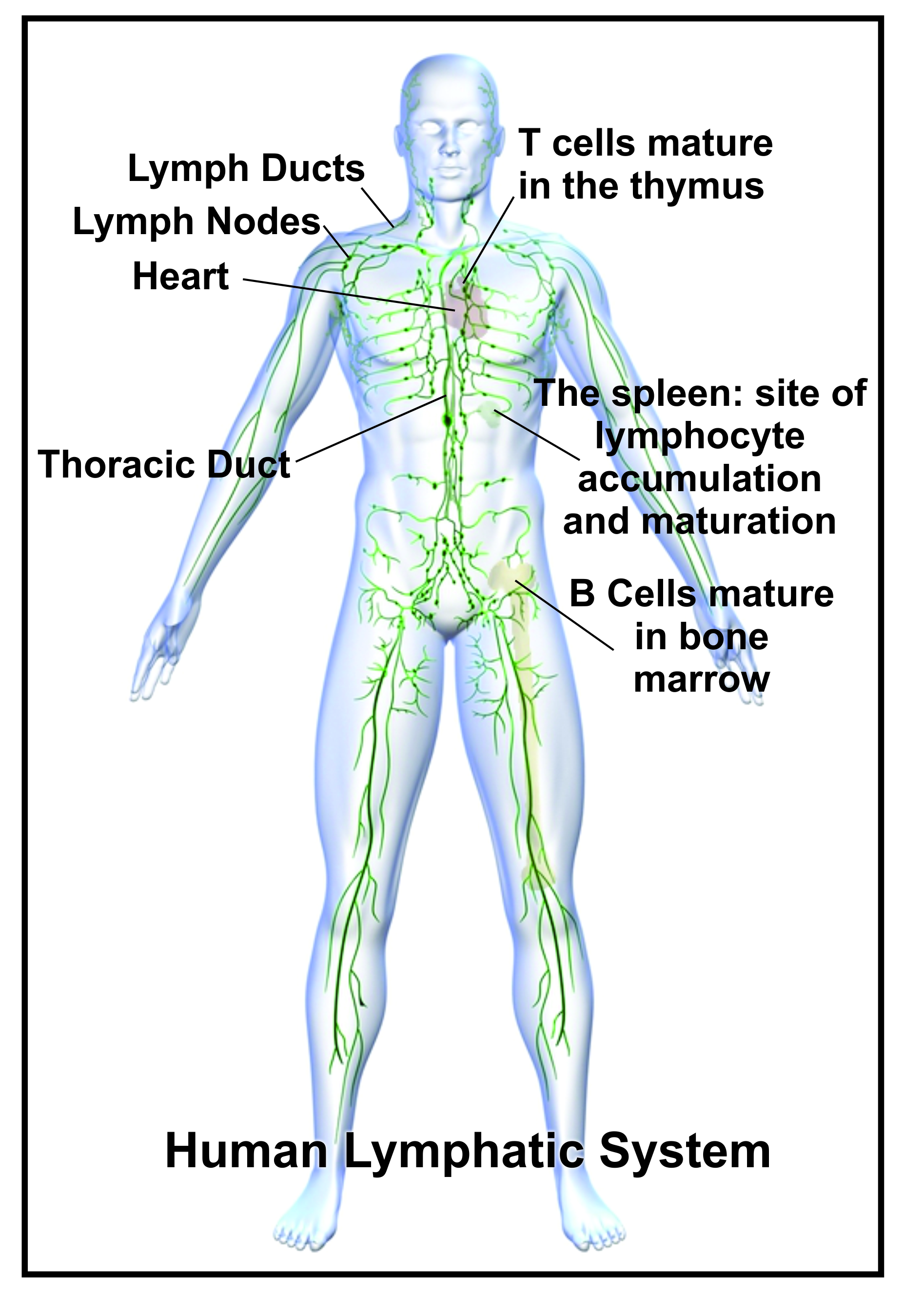 The Lymph System Breastresearchawareness